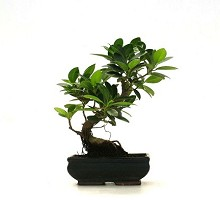 Plants Bonsai <span>Crespi Bonsai</span><br />Informal Upright Ficus Formosanum Bonsai