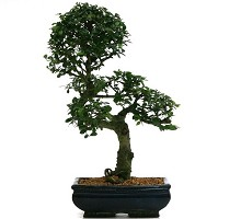 Informal upright Zelkova Nire or elm Bonsai  Crespi Bonsai
