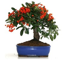 Bonsai Pyracantha  Crespi Bonsai