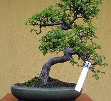 Plants Bonsai Carmona macrophylla  Crespi Bonsai