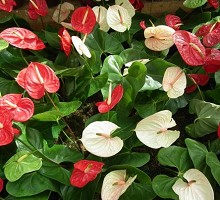 Plants Indoor Plants Anthurium