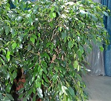 Plants Indoor Plants Ficus Exotica