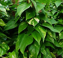 Plants Indoor Plants Pothos